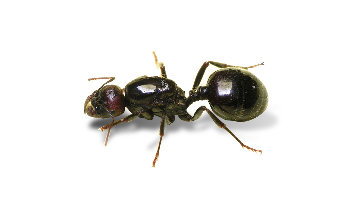 Messor barbarus - GRATIS !